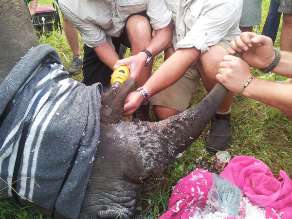 Figure 4. Implanting an RTM-enabled chip into a rhino's horn (photo credit: Savannah Tracking)