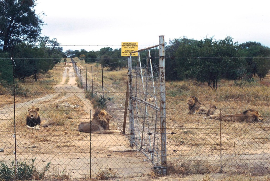 To witness territorial and apex predators being kept under intensive agricultural conditions is horrifying. copyright Ian Michler