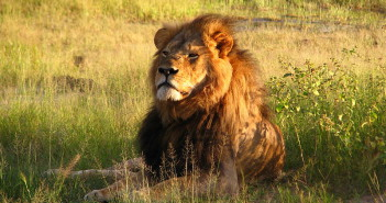 Cecil the lion circa 2010. Photograph Wikimedia Commons