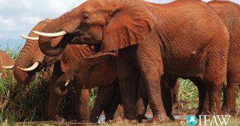 African elephants. Photograph IFAW
