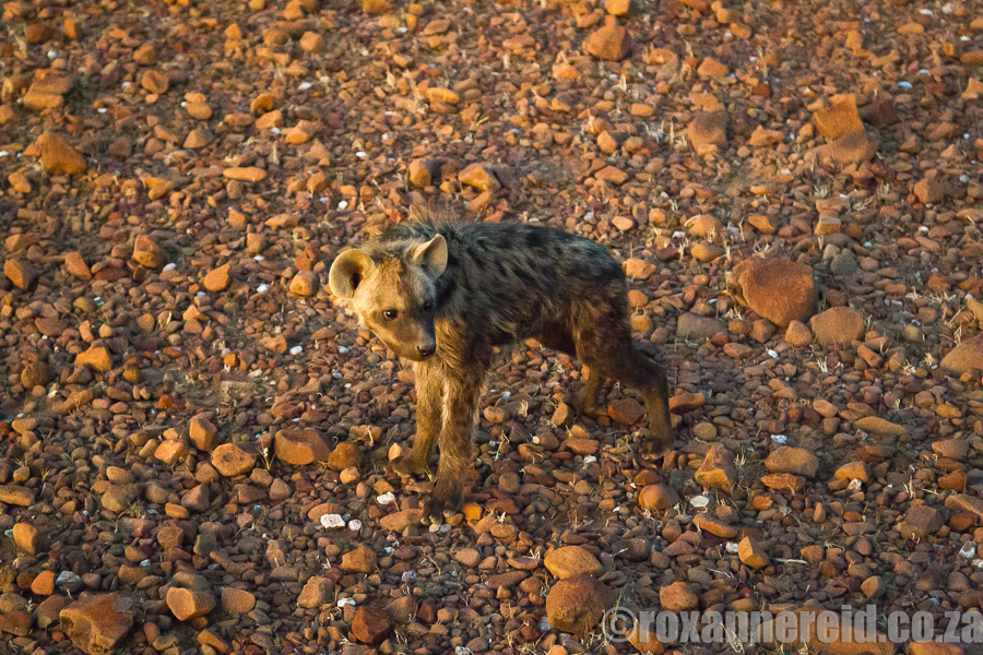 Hyaena pup well camouflaged against the desert plain.