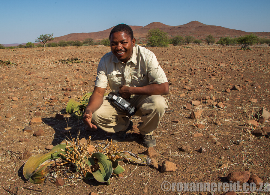 Bons explains his method of calculating a welwitschia's age – every 10cm of the central disc equals 100 years.