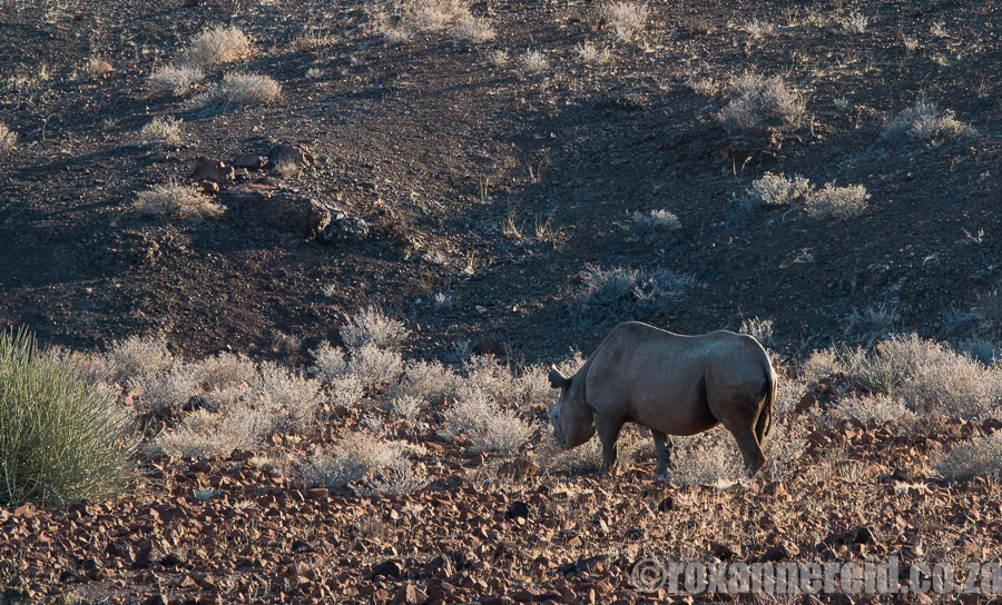 The big draw card - free-roaming desert rhino.