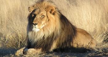 Lion. Soerfm/Wikimedia Commons