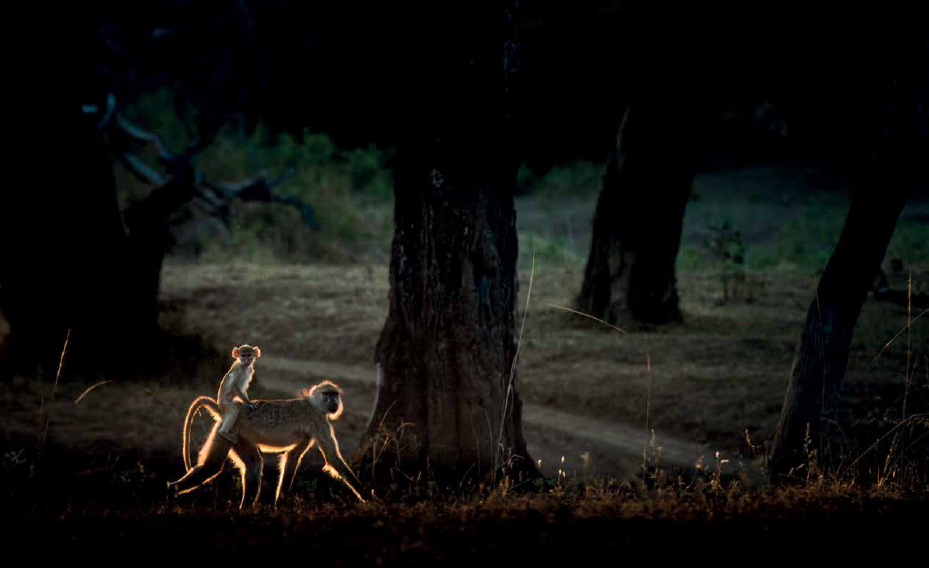 Baboons - copyright David Rogers