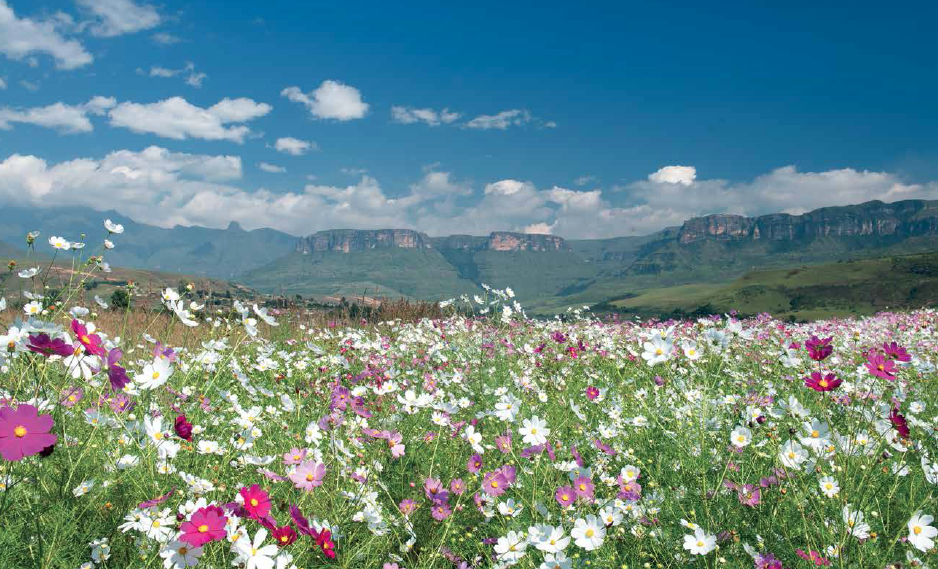 Cosmos gives a colourful foreground to the majestic sweep of the Drakensberg © David Rogers