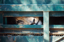 """Most of South Africa's lions spend their lives in captivity – only 30 per cent are truly wild. The film """"Blood Lions"""" tells the story of how lion breeding, canned trophy hunting, and increasingly the lion bone trade, are intertwined. © Ian Michler"""