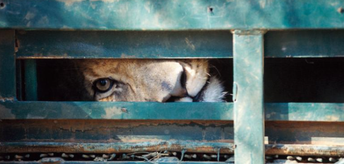 Blood Lions film prompts safari operators to demand the shut down of the captive breeding & canned hunting of lions