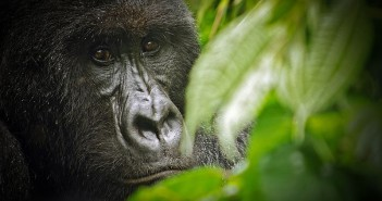 One of the approximately 200 Mountain gorillas remaining in Virunga National Park, in the Democratic Republic of the Congo. Photograph: LuAnne Cadd/Wikimedia Commons