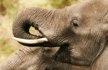 Elephants drinking © Francis Garrard