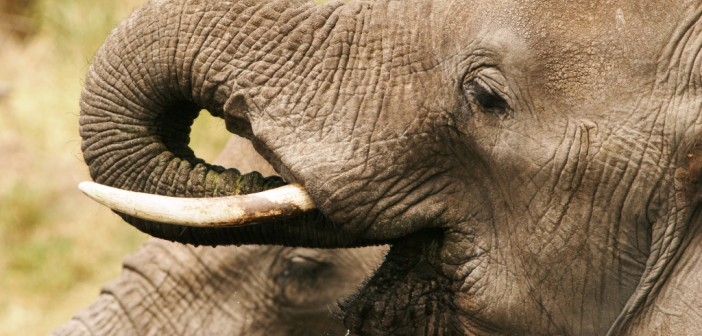Africa's elephants: some good news but the EU scuppers the bid to put all elephants firmly beyond trade's reach