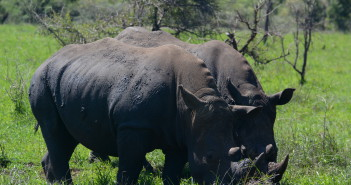 Rhinos. Photograph Wikimedia Commons.