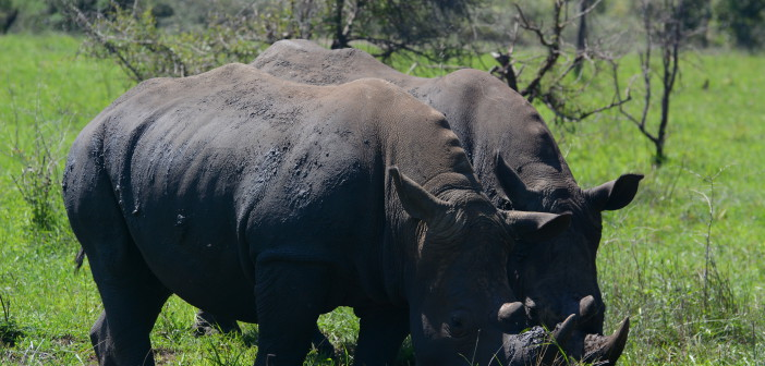 "Rhino killings slightly down in 2017 – but ""we're far from seeing the light at the end of this very long, dark tunnel"" says illegal wildlife trade expert."