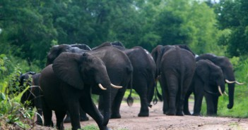 Elephants in the Selous Game Reserve. Photograph Wikimedia Commons