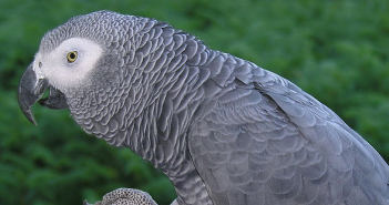 The African Grey Parrot, listed Vulnerable by CITES is one of the most heavily traded species for the pet trade in the world. Photograph: Wikimedia Commons