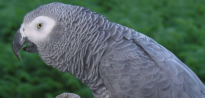 Shades of Grey – Singapore called on to tighten up on a dodgy bird trade that includes thousands of African Grey Parrots