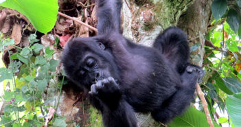 Lulingu: the rescue of an orphan gorilla