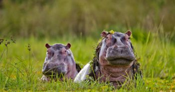 Hippos of the Selous often spend their entire day semi submerged in pans where the water hyacinth helps to protect their thick but sensitive skins.