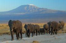 Elephants against backdrop of Mount Kilimanjaro. Wikimedia/Commons