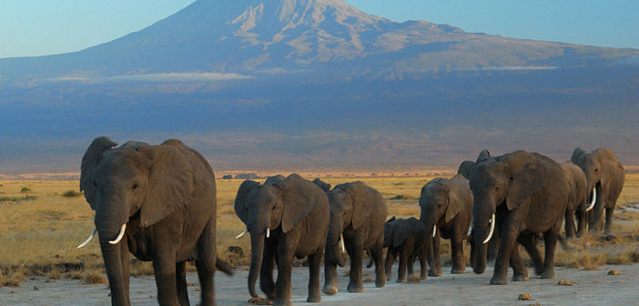 African Elephants – Their Story.  Part 1