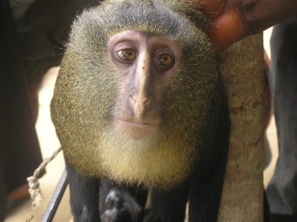 The lesula (Cercopithecus lomamiensis) was discovered in 2007. Photo by Terese Hart.