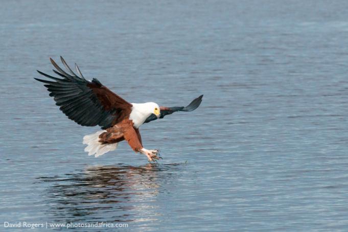 Fish Eagle David Rogers