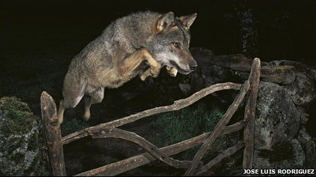 BBC News: Jumping Wolf Loses Photo Prize