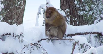 Barbary macaque in a snowy cedar forest in Morocco. Photograph: Wikimedia Commons