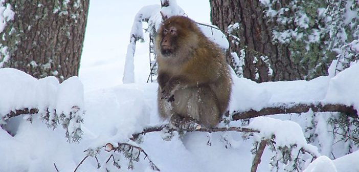 Fun facts: Barbary Macaques and more