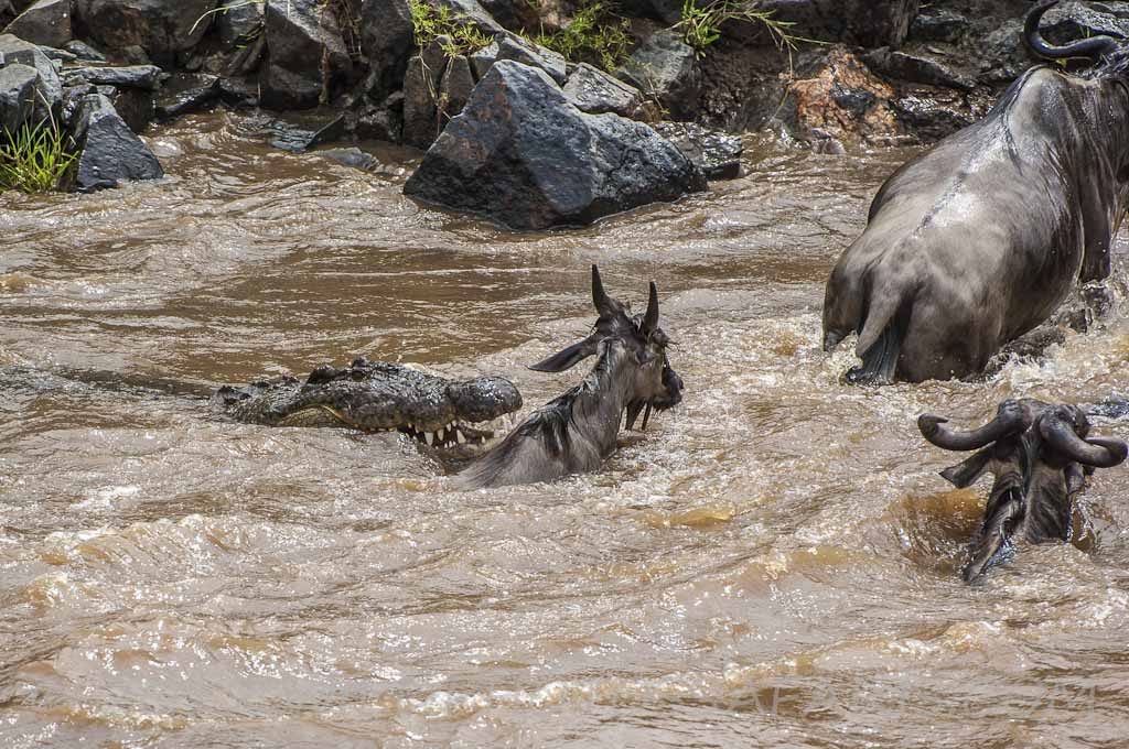 A Nile crocodile snaps at a wildebeest swimming across the Mara River during the migration; Maasai Mara National Reserve, Kenya
