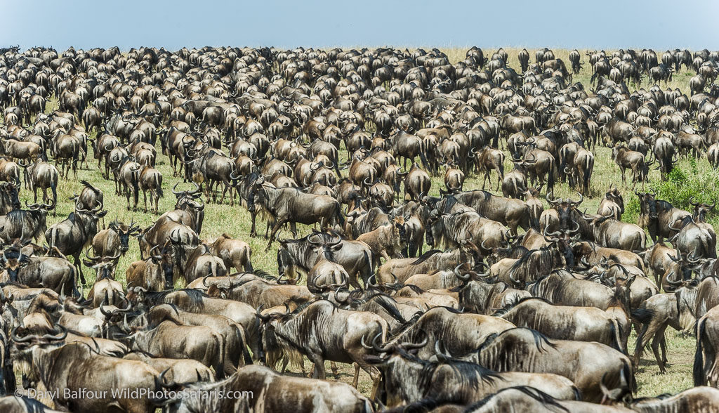 Wildebeest as far as the eye can see.