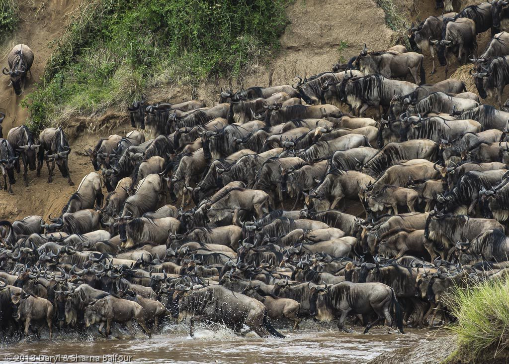 Wildebeest backing up on the river bank.