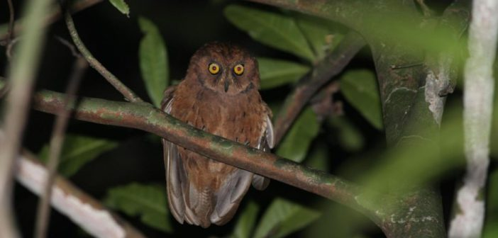 New owl species for Africa