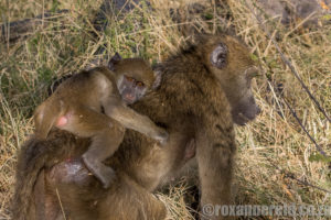 A young baboon clings to its mother's back for reassurance