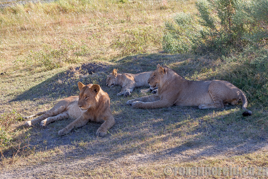 Lions relaxing in the morning sun