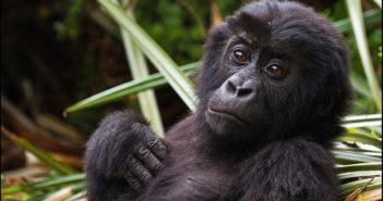 Young Eastern Lowland Gorilla. Photograph Wikimedia Commons/Joe McKenna