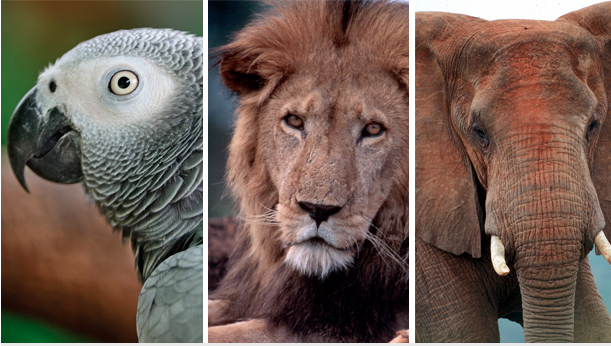 African grey parrots got a resounding win at CITES yesterday, while elephants and lion vote outcomes were good for species conservation, but best wishes were not realized. Parrot Photo : © Pond 5/Panu Ruangjan