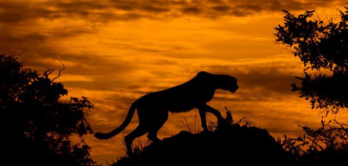 Crisis time for cheetahs