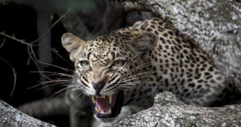 Leopard at Londolozi. Photograph by Amy Attenborough