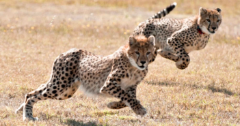 Cheetah. Conservation Action Trust