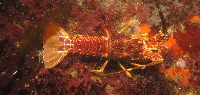 A big no-no for West Coast rock lobster (kreef) lovers – delicacy down to two per cent of historical stock levels