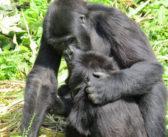 Baby gorilla Lulingu doing well