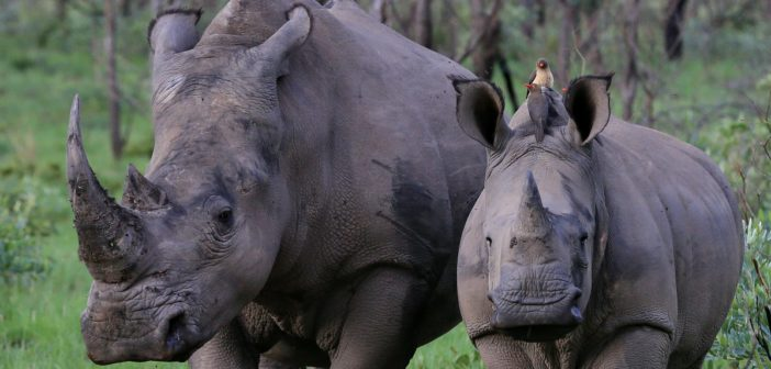 "Rhino poaching: South Africa needs to take out the ""big guys"""