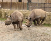 Czech zoo to dehorn rhinos: a shortsighted and lazy action …