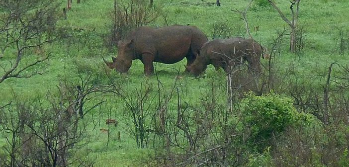 KwaZulu-Natal: Dehorning being considered in the face of increased poaching coupled with budget cuts to combat crime.