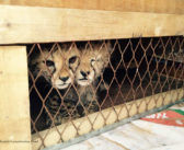Somaliland – cheetah cubs saved from the illegal pet trade