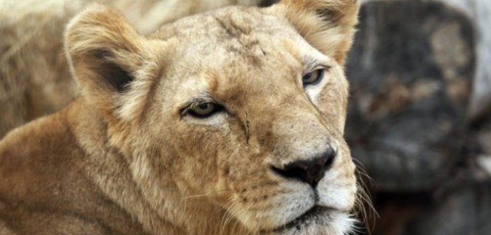 "Lions dubbed ""nuisance animals"" lured from Zimbabwe park and shot."