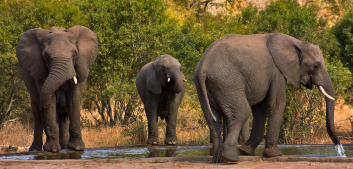 Elephant poaching: why the reluctance to share the statistics?