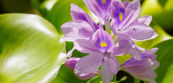 Beetle power to combat weed choking Lake Tana?