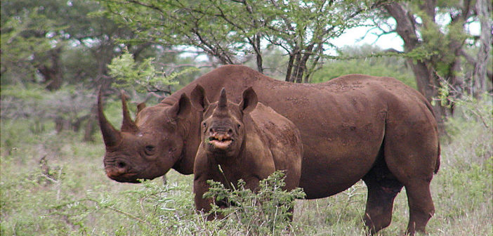 Good news – black rhinos expand into new home range